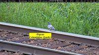 Pigeon on rail OKC
