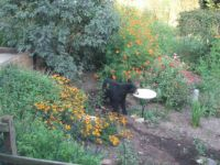 Bear in my Yard 1