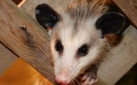 baby possum 2
