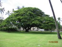 Umbrella Tree......Hawaii
