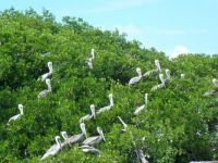 Pelicans in the Florida Keys
