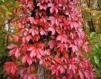Virginia Creeper (Parthenocissus quinquefolia) - autumn colors