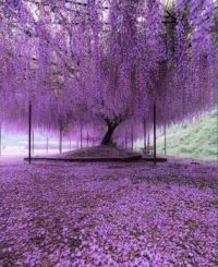 200 year old wisteria, Japan