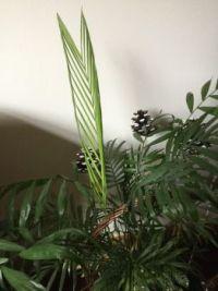 Zamia integrifolia - aka Coontie
