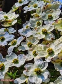 dogwood tree ....close up