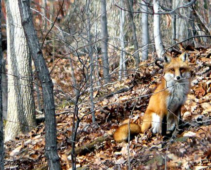 Fox in Camouflage