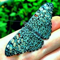 Blue Cracker butterfly (Hamadryas amphinome)