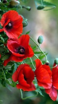 Stunning Red Poppies.