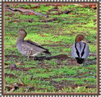 A couple of Aussie Wood Ducks.