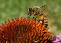 Echinacea and Bee_2