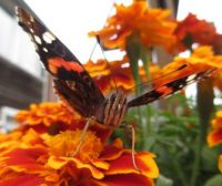 Red Admiral -- Atalanta  Buttefly