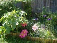 Garden - Flowers - Peonies 3