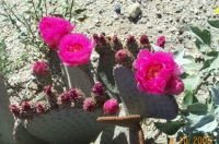 Prickley Pear in spring blooms