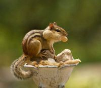 Cheeky Chipmunk