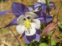 Beautiful Columbine