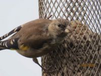 Juvenile Goldfinch with it's mouth full.