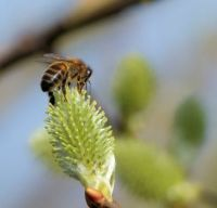 honeybee on green catkin