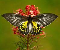 3  ~  'Southern Birdwing'
