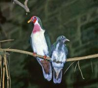 Male Jambu Fruit Dove and Chick