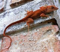 "THEME ~ ""Amphibians, Fish & Reptiles"" ~~ Cuban Brown Anole"