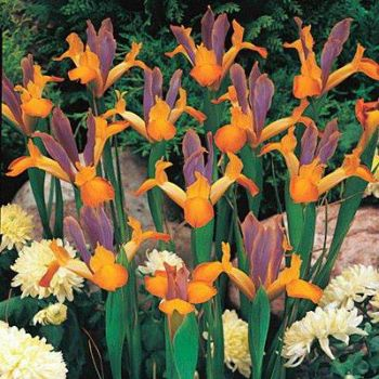 Bronze Queen Dutch Iris..