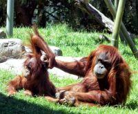 San Diego Zoo - Orangutans - Aisha and Karen