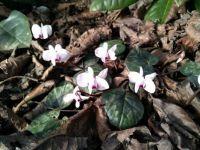 Brambořík (Cyclamen coum hybridum)
