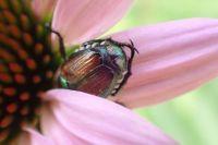 Shy Beetle
