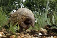 Pangolin the world's most trafficked animal, for food and Chinese meds, endangered