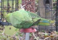 Rose-Ringed Parakeet showing of its multi-coloured tail feathers