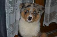 Phreddie mon chien berger australien