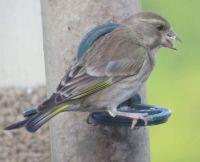 Juvenile Greenfinch.