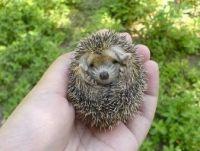 baby hedghog