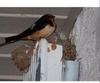 Barn Swallow !