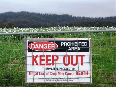Bloomin' poppies, Tasmania