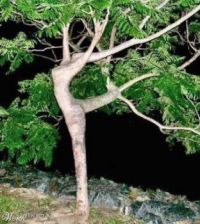 The dancing tree!