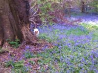Tess and the bluebells, Saltwells Nature Reserve, Netherton, West Midlands