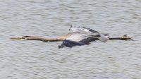 Blue Heron - Carter Creek
