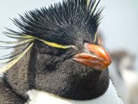 My true love...Rockhopper Penguin in the Falkland Islands