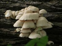 mushrooms on log