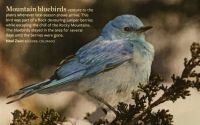 Mountain Bluebird, part II