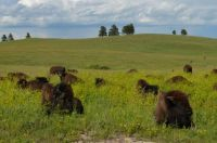 Bison Herd, Custer State Park, SD