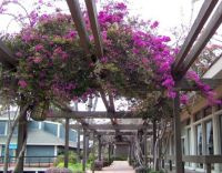 Quivera Basin - Purple Bougainvillea