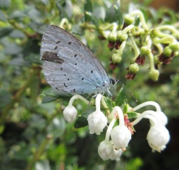Holly Blue Butterfly-- Boomblauwtje