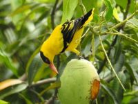 Yellow Mynah feasting on a mango
