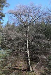 Distinct tree in amongst the pine plantation