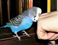 THEME ~ Small Pets . . . Parakeet/Budgie