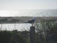 Gull, Gualala, California
