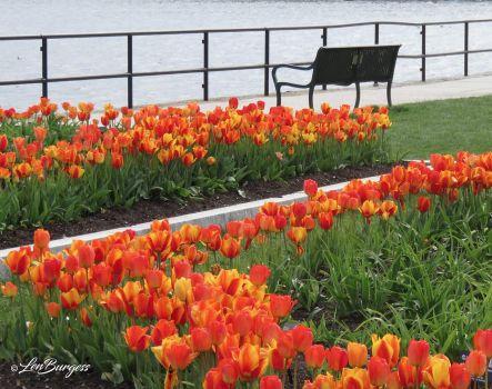 Gloucester Tulip Garden_6872