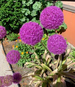 Pretty Purple Pompoms